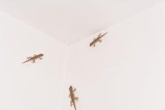 在白色墙壁上的3只壁虎 免版税库存图片