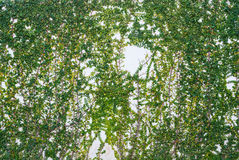 在白色墙壁纹理背景的常春藤 免版税图库摄影