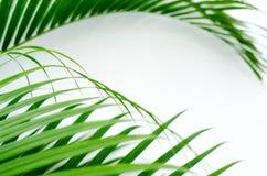 在白色墙壁背景的卷曲棕榈叶 免版税库存图片