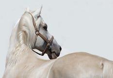 在白色墙壁背景的安达卢西亚的马 免版税库存图片