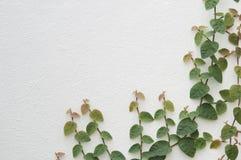 在白色墙壁软的迷离的叶子背景的 库存照片