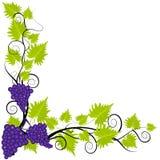 在白色壁角框架的葡萄树 免版税图库摄影