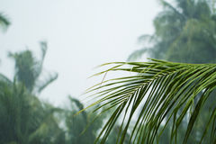 在白色多云天空背景的绿色椰树棕榈叶 在雨季节期间的棕榈树 图库摄影