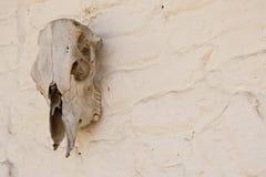 在白色多孔黏土墙壁上的老母牛头骨 库存照片