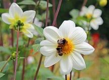 在白色大丽花的两只土蜂 图库摄影