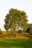 在白色天空背景的唯一树 免版税库存图片