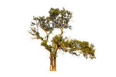 在白色天空背景的唯一树 免版税图库摄影
