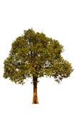 在白色天空背景的唯一树 库存照片