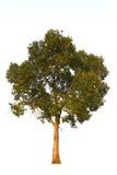 在白色天空背景的唯一树 库存图片