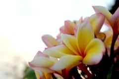 在白色天空背景的桃红色和黄色赤素馨花花 图库摄影