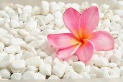 在白色小卵石背景的桃红色赤素馨花花 图库摄影
