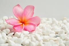 在白色小卵石背景的桃红色赤素馨花花 免版税库存照片