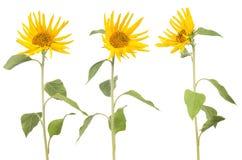 在白色小向日葵隔绝的三 免版税库存图片