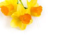 在白色小珠董事会的三个黄水仙 库存图片