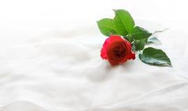 在白色布料背景的美丽的红色玫瑰 免版税库存图片