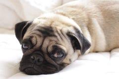 在白色床上的愉快的哈巴狗 图库摄影