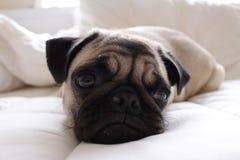 在白色床上的愉快的哈巴狗 库存照片