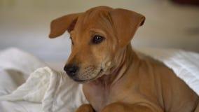 在白色床单的可爱的亲切的小狗说谎在毯子下 睡觉小狗醒 小的棕色小狗 影视素材
