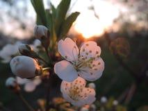 在白色开花的宏观看法,日落 免版税库存图片