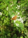 在白色开花的灌木的布朗蝴蝶 图库摄影