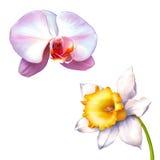 在白色或水仙隔绝的黄水仙花 免版税库存图片