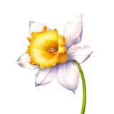 在白色或水仙隔绝的黄水仙花 免版税库存照片