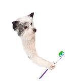 在白色招贴上的狗与牙刷, 查出在白色 库存图片
