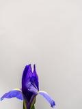 在白色拷贝空间的紫色和黄色虹膜 库存照片