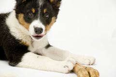 在白色无缝的博德牧羊犬小狗 库存照片
