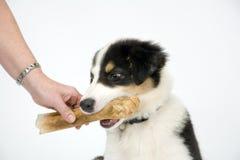 在白色无缝的博德牧羊犬小狗 免版税库存照片