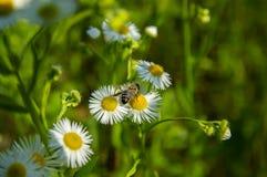 在白色春黄菊花的昆虫蜂 免版税库存图片