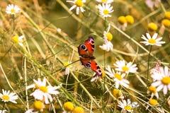 在白色春黄菊的晴朗的红色蝴蝶在夏天 免版税库存图片
