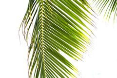 在白色晴朗的天空背景的蓬松棕榈叶 热带自然艺术性的被定调子的照片 生动的椰树棕榈叶 免版税库存照片