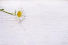 在白色木背景的唯一春黄菊 免版税库存照片