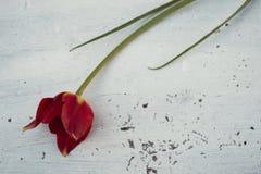 在白色木背景的红色郁金香 免版税图库摄影
