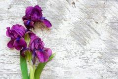 在白色木背景的紫色虹膜花 库存照片