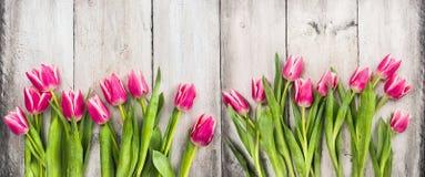 在白色木背景,横幅的桃红色郁金香 免版税库存图片