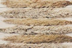 在白色木头的干蓬松香蒲花纹理背景 图库摄影