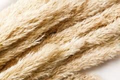 在白色木头的干蓬松香蒲花纹理背景 免版税库存照片