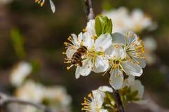 在白色李子花宏指令的蜜蜂 免版税库存图片