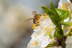 在白色李子花宏指令的蜜蜂 免版税库存照片
