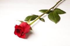 在白色查出的唯一红色玫瑰 免版税图库摄影