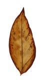 在白色查出的干燥叶子 库存照片