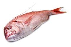 在白色查出的攫夺者红色鱼 图库摄影