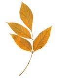 在白色查出的树叶子 免版税库存照片