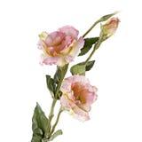 在白色查出的桃红色lisiantus (南北美洲香草)花 库存照片