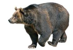 在白色查出的棕熊