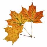 在白色查出的槭树叶子 免版税库存照片