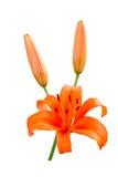 在白色查出的橙色百合 图库摄影