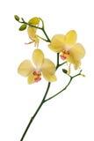 在白色查出的淡黄色兰花花 库存照片